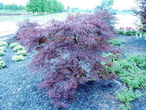 Acer Palmatum V Dissectum Red Select Japanese Cut Leaf Maple From