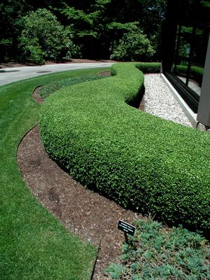 Japanese Boxwood Shrubs for Sale http://www.hopewellnursery.com/index.cfm?fuseaction=plants.plantDetail&plant_id=3329