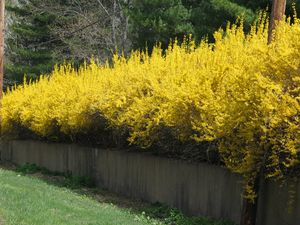 Forsythia x intermedia 39 lynwood gold 39 forsythia from - Forsythia x intermedia ...