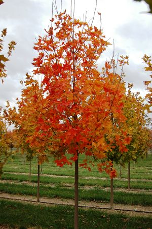 Acer Saccharum Fall Fiesta Sugar Maple From Hopewell Nursery