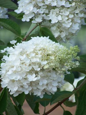 hydrangea paniculata 39 grandiflora 39 panicle hydrangea from. Black Bedroom Furniture Sets. Home Design Ideas